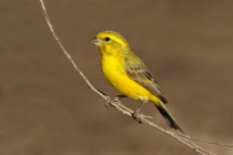 Yellow canary (Serinus mozambicus)